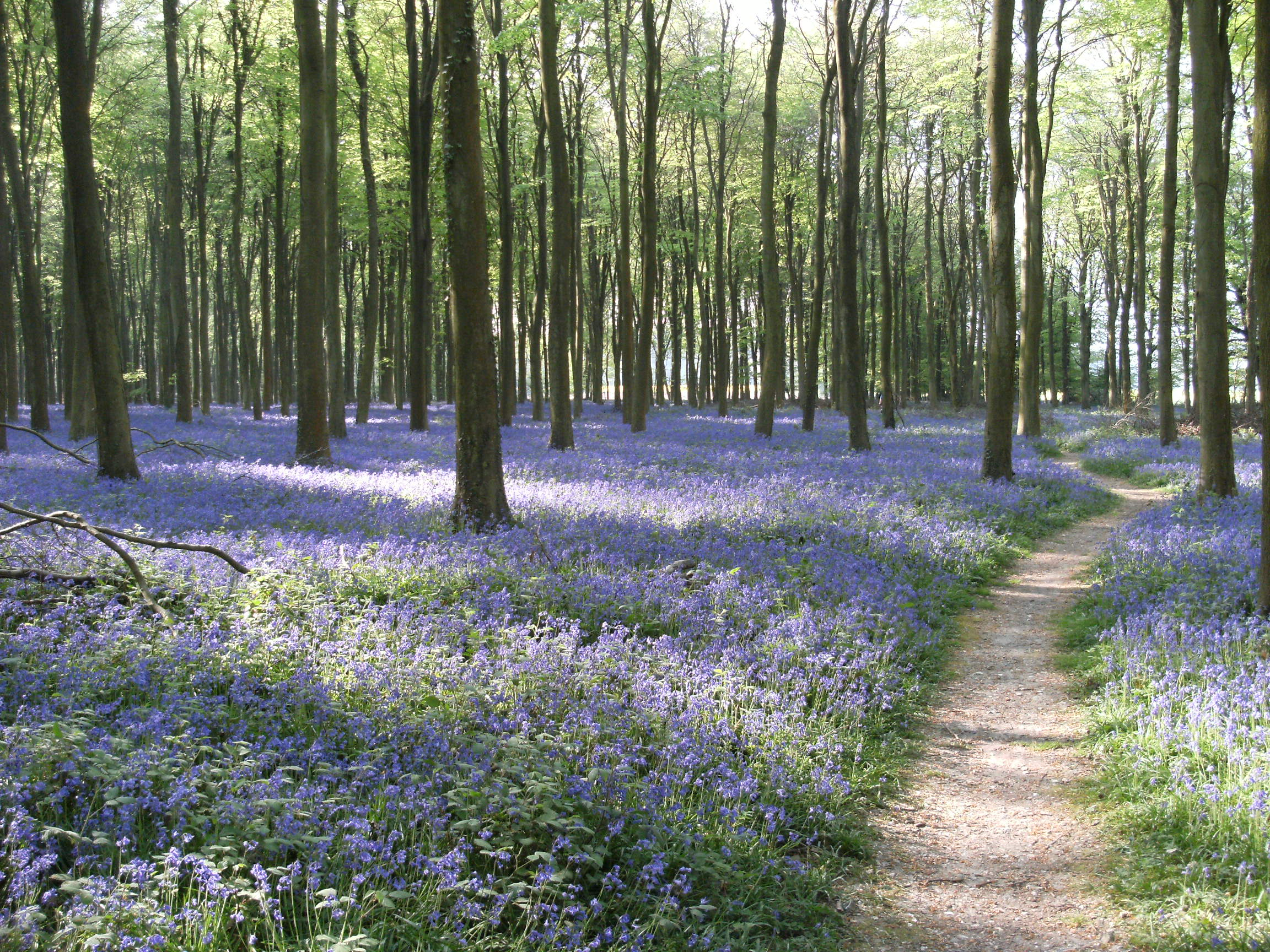 Bluebells at Angmering